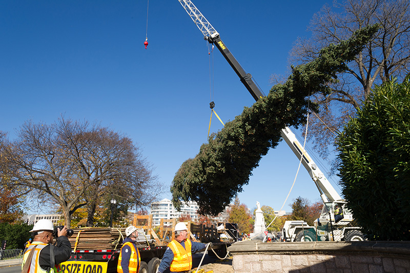 Workers hoist the tree before placing it on the West Front lawn of the Capitol.